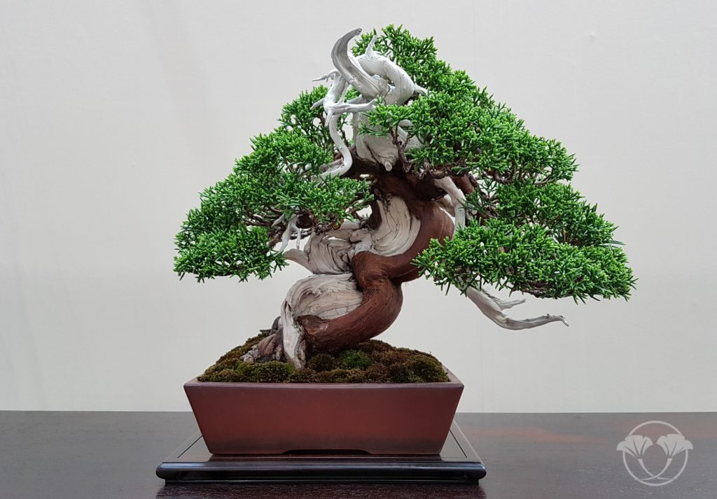 shohin exposé à la world bonsai convention