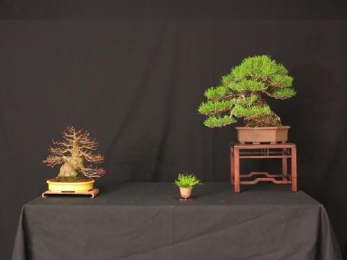 pinus densiflora et juniperus shohin