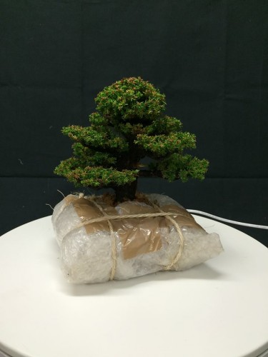 emballage et expedition de bonsai - 02