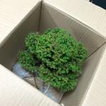 emballage et expedition de bonsai - 03