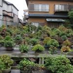 yorozuen angyo bonsai - 02