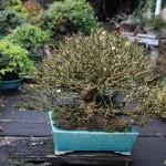 yorozuen angyo bonsai - 03