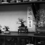 yorozuen angyo bonsai - 04