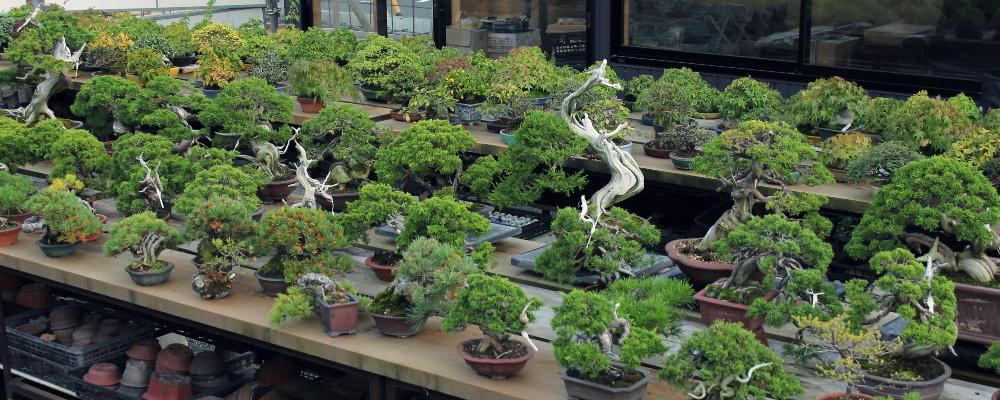 bonsai shohin kifu