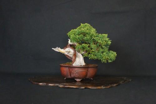liquide a jin sur bois mort