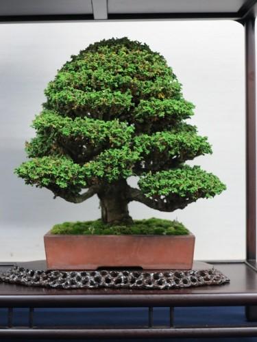 cryptomeria japonica dans un pot non émaillé