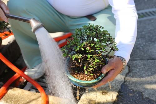 arrosage du bonsai après le rempotage - 13