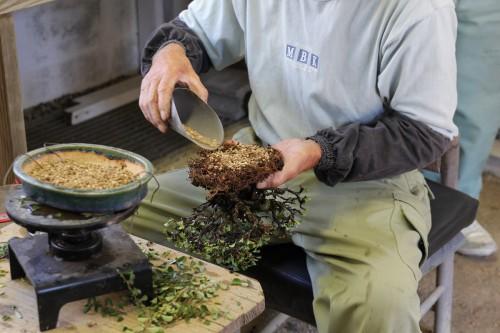 astuce de rempotage bonsai