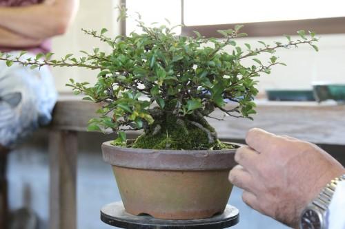 bonsai brut avant rempotage