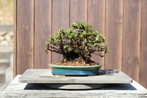 bonsai rempoté près pour être moussé