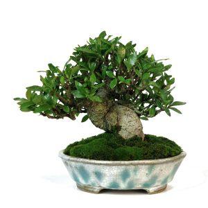 gardenia pot bunzan - shohin 00003