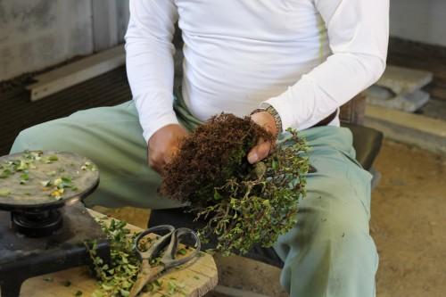 grattage du substrat pendant le rempotage du bonsai