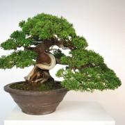 juniperus itoigawa collection - shohin 00013 - 01