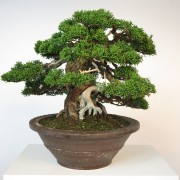 juniperus itoigawa collection - shohin 00013 - 02