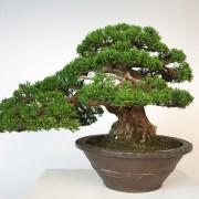 juniperus itoigawa collection - shohin 00013 - 03