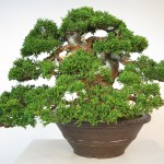 juniperus itoigawa collection - shohin 00013 - 04
