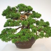 juniperus itoigawa collection - shohin 00013 - 05