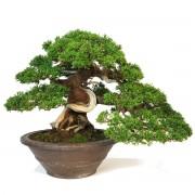 juniperus itoigawa collection - shohin 00013