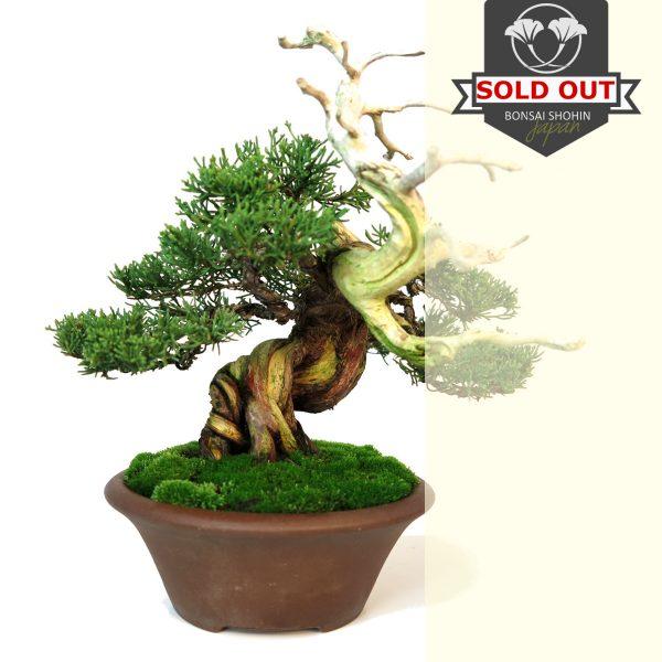 juniperus tenjin vendu