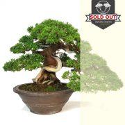 juniperus vendu