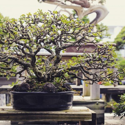 poser engrais boulettes bonsai