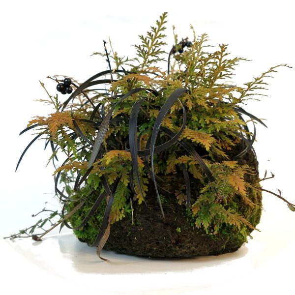shitakusa ophiopogon fougere - 00008