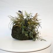 shitakusa ophiopogon fougere - 00008i - 03