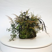 shitakusa ophiopogon fougere - 00008i - 04