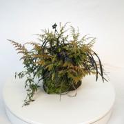 shitakusa ophiopogon fougere - 00008i - 05