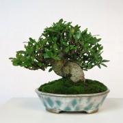 shohin 00003 - gardenia pot bunzan - 00