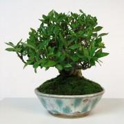 shohin 00003 - gardenia pot bunzan - 01