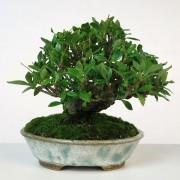 shohin 00003 - gardenia pot bunzan - 03