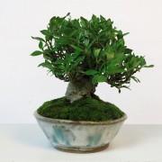 shohin 00003 - gardenia pot bunzan - 04