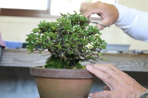 taille des pousses avant le rempotage bonsai