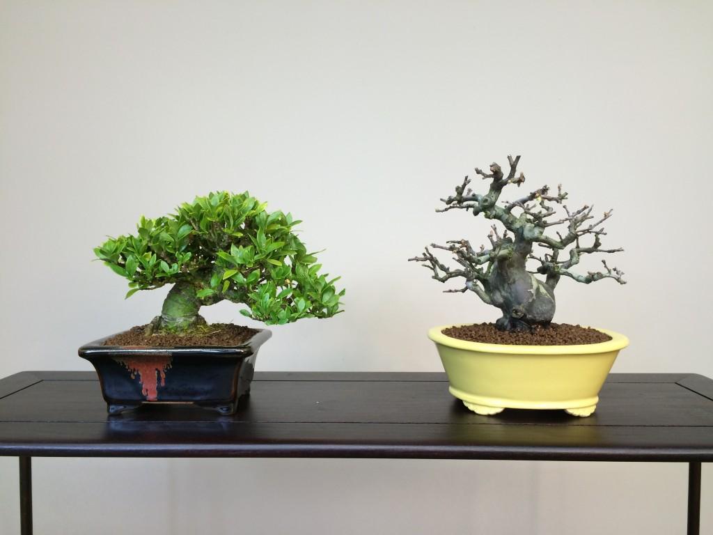 les bonsaï après le rempotage