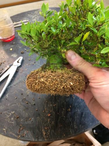 taille des racines lors du rempotage d'un gardenia