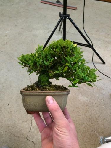 gardenia shohin en pot de culture