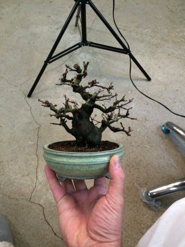 Valoriser les arbres par la poterie bonsai shohin for Culture du bougainvillier en pot