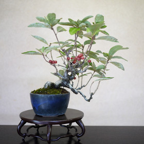 eleagnus umbellata bonsai gumi