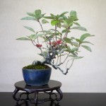 eleagnus umbellata gumi bonsai