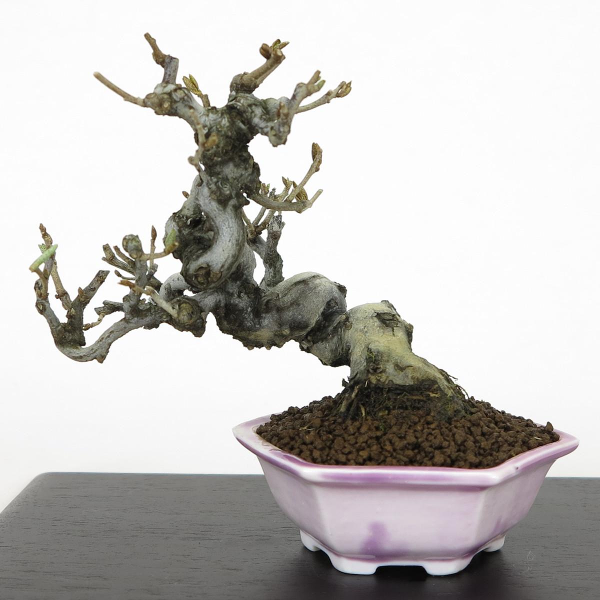 fiche de culture eleagnus umbellata quot gumi quot bonsai shohin