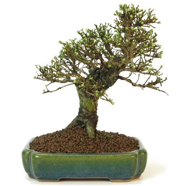 zelkova pot rectangle
