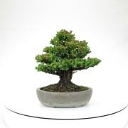 cryptomeria japonica - 01