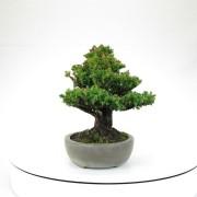 cryptomeria japonica - 02