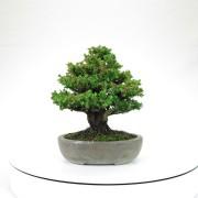 cryptomeria japonica - 03