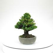 cryptomeria japonica - 04