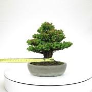 cryptomeria japonica - 05