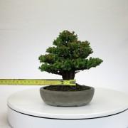 cryptomeria japonica - 07
