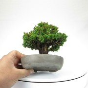 cryptomeria japonica - 09