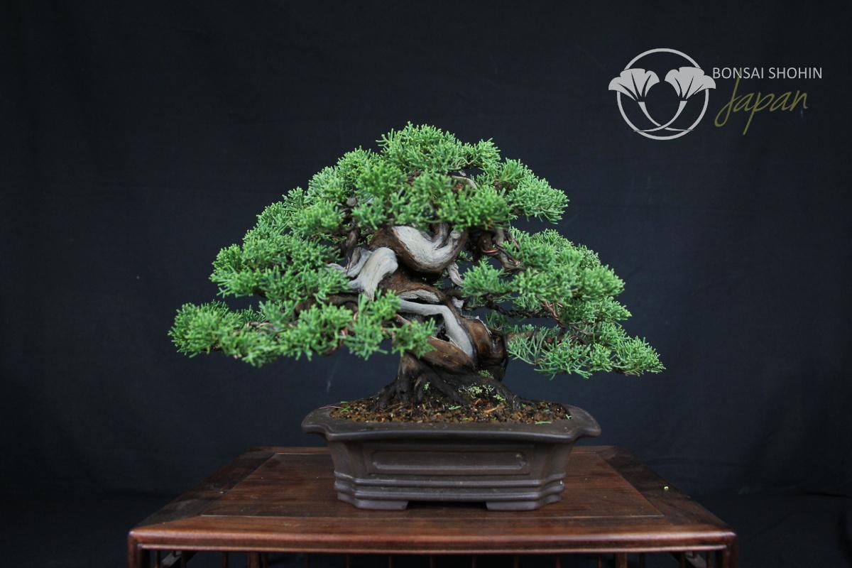 Bonsai Shohin Juniperus-JP